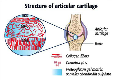structure of articular cartilage